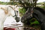 Про Белую Лошадь и Черную Лошадь